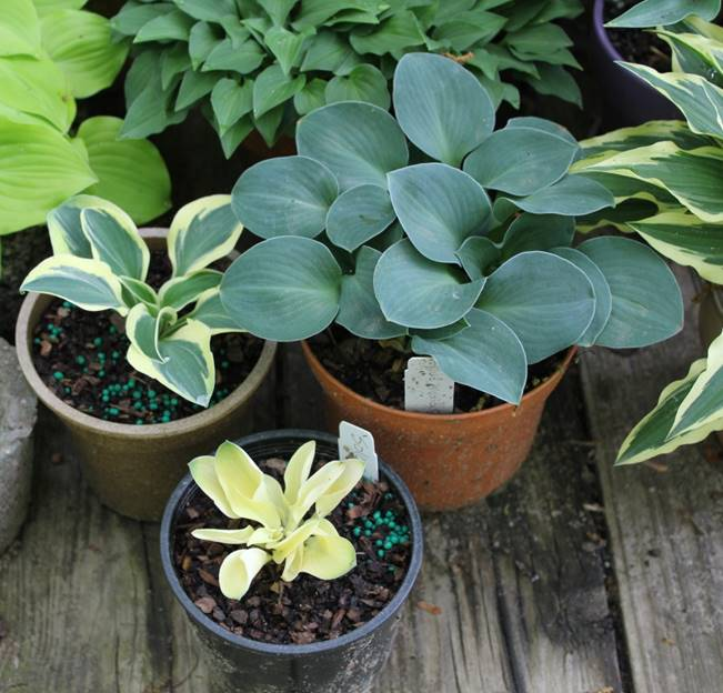Green Hill Farm Great New Hostas Wholesale And Retail